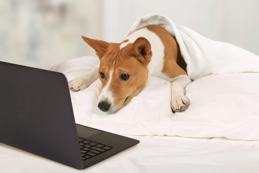 Terrier Mix Looking at Computer in Bed